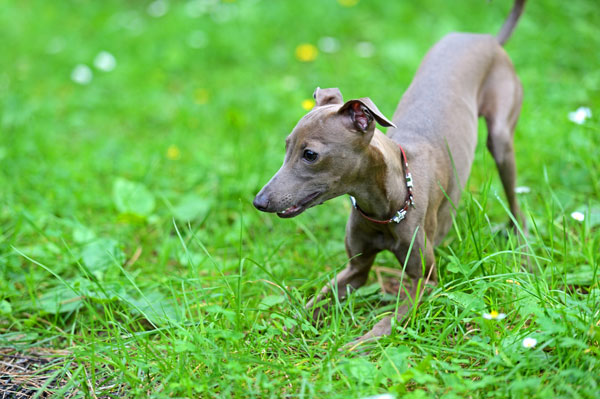 Get To Know The Italian Greyhound The Graceful Grecian
