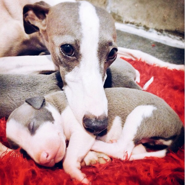 Italian Greyhound Puppies: Learn the Charms and Challenges ...