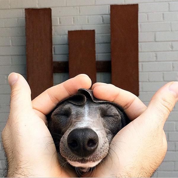 Resultado de imagen para italian greyhound cuddle owner