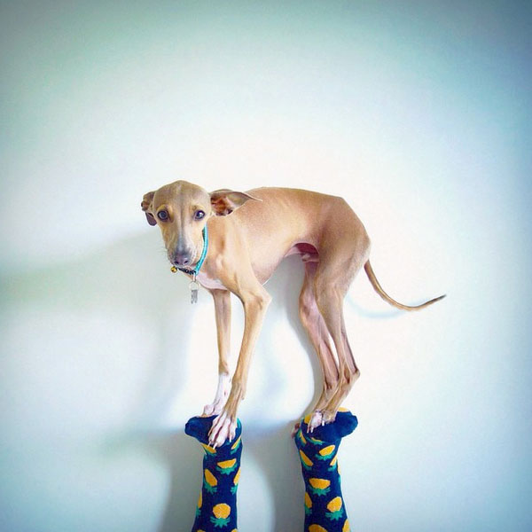 Italian Greyhound Puppies Learn The Charms And Challenges Of This