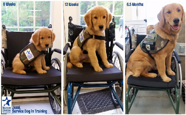 This Puppycam Shows the Early Training of Service Dogs for Disabled Veterans