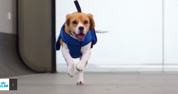Sherlock the Airport Search Dog Retrieves Items Lost on Planes