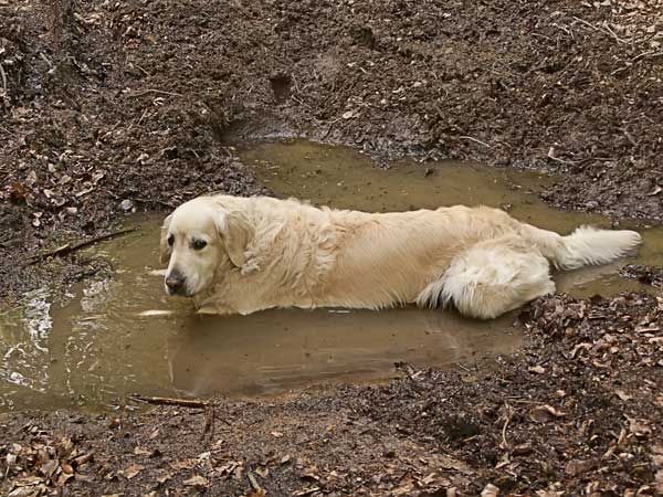 Image result for dog roll on mud