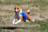 Get to Know the Basenji: A Breed of Ancient Freethinkers