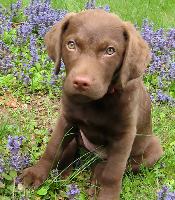 Get to Know the Chesapeake Bay Retriever: A Serious Hunting Dog