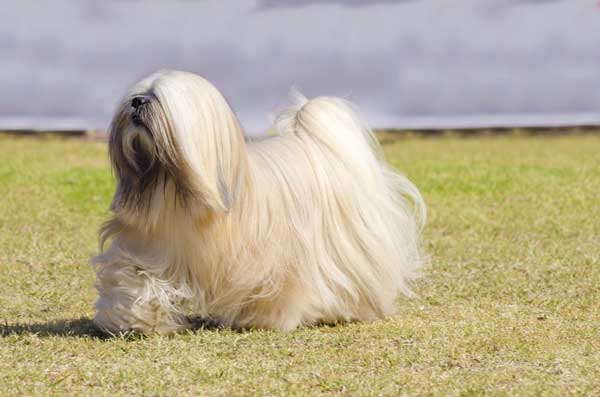 Get to Know the Lhasa Apso: The Tibetan Sentinel