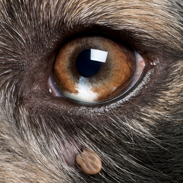 Lyme Disease in Dogs: Causes, Symptoms, and Treatment: http://www.dogster.com/dog-health-care/lyme-disease-in-dogs-dog-health-tips-symptoms-treatment-ticks-borrelia-burgdorferi