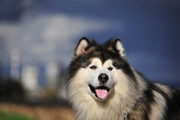 The Malamute Is Curly 57th Most Por Akc Breed Just Where He Was A Decade Ago