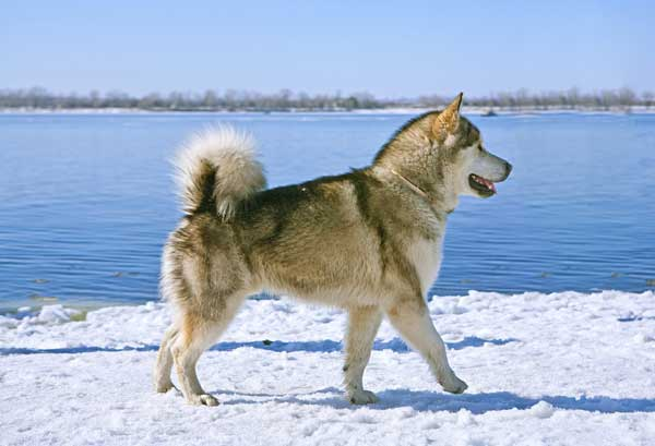 Get To Know The Alaskan Malamute