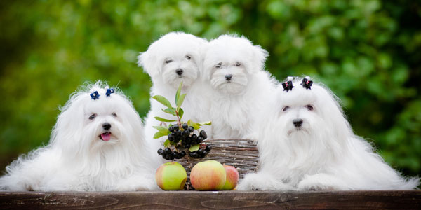 Get to Know the Maltese: He'll Melt Your Heart