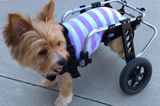 Mango the Paralyzed Pup Is on a Mission to Help Vets and Pets