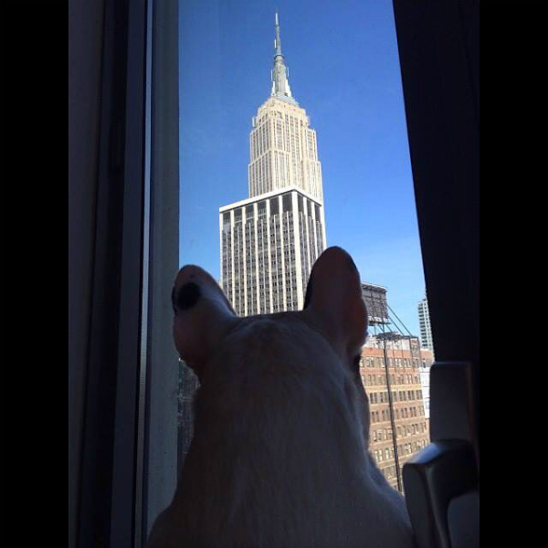 Internet-famous Manny is ready to take on NYC! (Photo via @manny_the_frenchie)