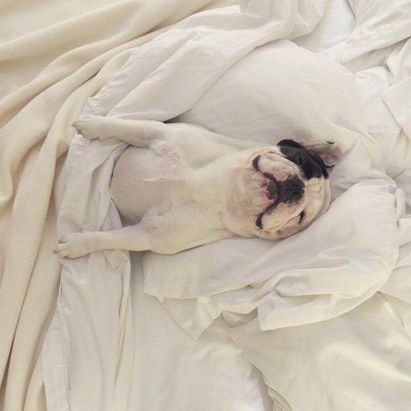 How could a dog this cute not take over the Internet? (Photo via @manny_the_frenchie)
