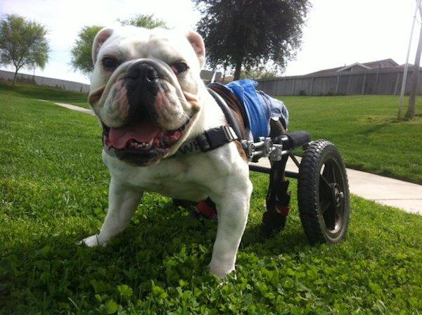 Meet Mickey The Bulldog And The Padded Bum Crew