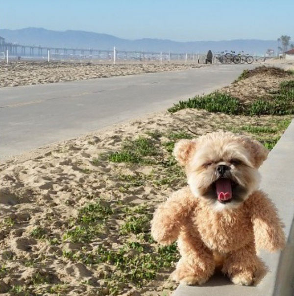 Vid We Love: Munchkin the Teddy Bear Dog Walks Into a Puddle of Awws