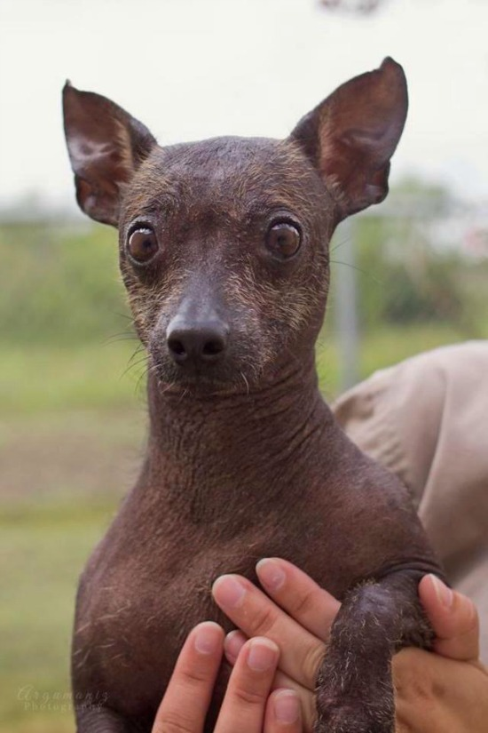 Mexican Hairless Dog Rescue