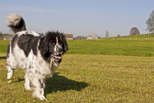 Get to Know the Newfoundland: A Gentle Giant Dog Breed