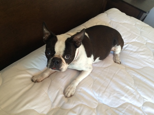 Does Your Dog Sleep in the Human Bed? Win a Therapedic Waterproof Mattress Pad