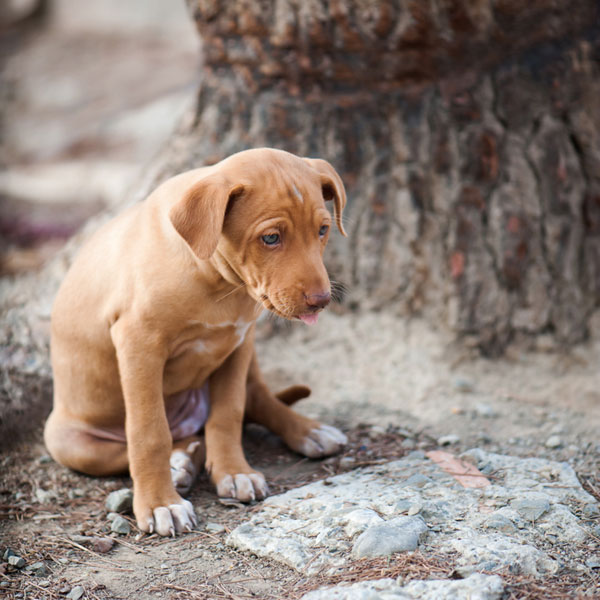 What Does Pancreatitis Do to Dogs?