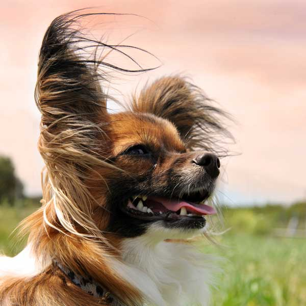 Get to Know the Papillon: Pretty, Peppy, and Almost Perfect!