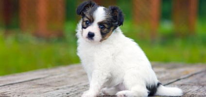 These Papillon Puppy Pictures Will Help You Through The Day