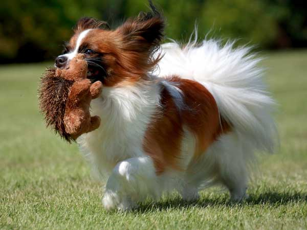 Get To Know The Papillon Pretty Peppy And Almost Perfect