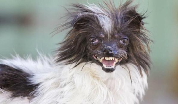 It S Almost Too Late To Vote For The World S Ugliest Dog