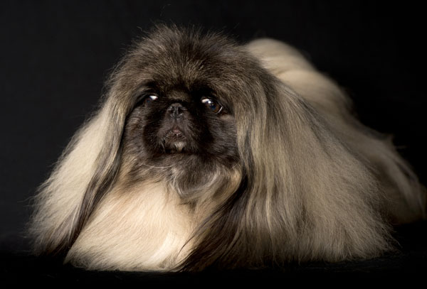 Meet the Pekingese, Imperial Dog of China