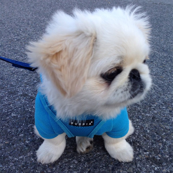 And Now A Parade Of Pekingese Puppies