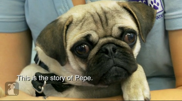 Pepe The Paralyzed Pug Lets Nothing Slow Him Down