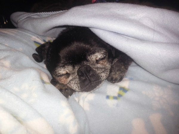 Phoebe the Senior Pug Saved Her New Family From a Fire