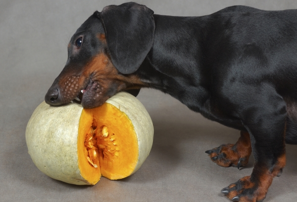Can a Vegetarian Diet Meet Your Dog's Needs?
