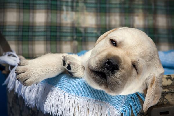 A puppy asleep on blankets.