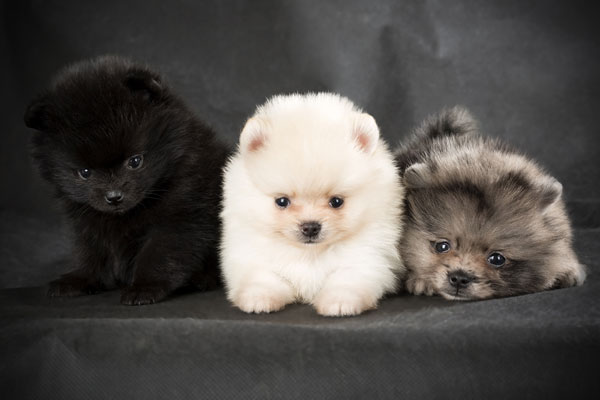 Puffball Dog Breed