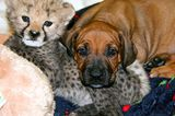 Rhodesian Ridgeback Puppy Pictures? Yes, Please