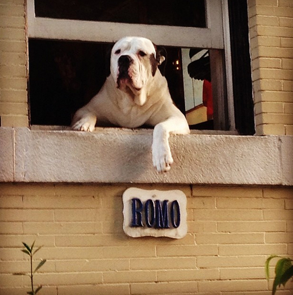 Romo The Dog Famous For Just Hangin Out Of His D C Window