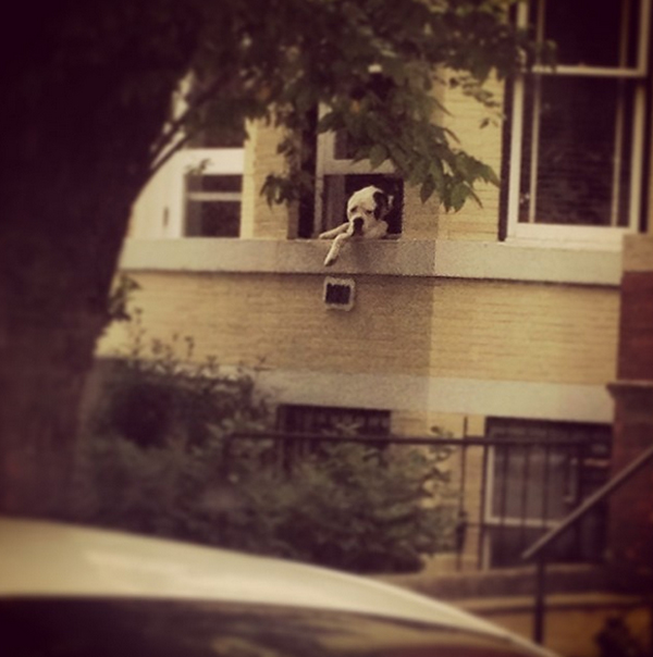 Romo the Dog: Famous for Just Hangin' Out of His D.C. Window