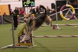 Westminster Behind the Scenes: At the Agility Trials with Tavari the Rhodesian Ridgeback