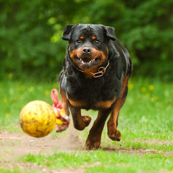 Rottweiler Wallpaper: Get To Know The Rottweiler: Rough, Ready -- And Friendly