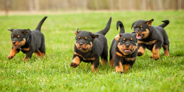 Get to Know the Rottweiler: Rough, Ready — and Friendly