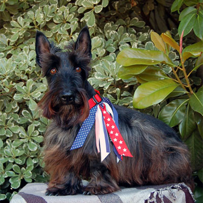 Get to Know the Scottish Terrier: Die-Hard of the Dog World