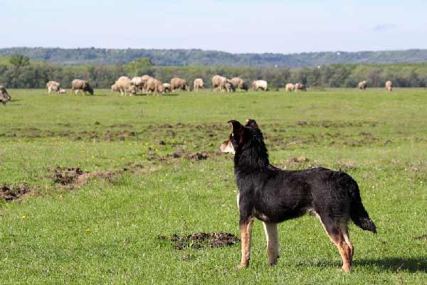 Sheepdog with flock in field by Shutterstock