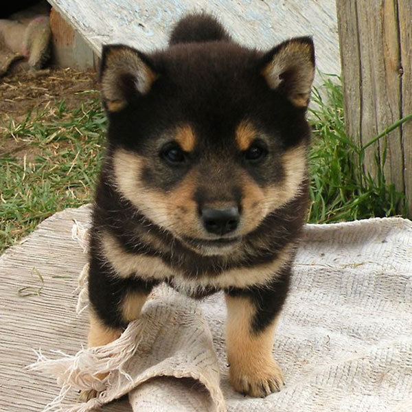 And Now, Ridiculously Adorable Shiba Inu Puppies!