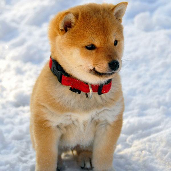 Fox Get Dog S Toy