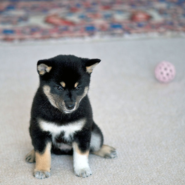 And Now Ridiculously Adorable Shiba Inu Puppies