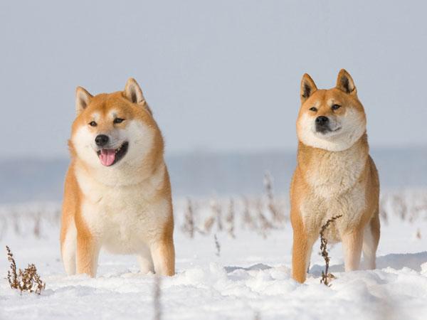 Dog Breed Of Japan