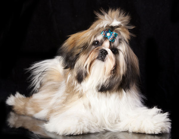 shih tzu topknot get to know the shih tzu little lion dog of tibet 1447