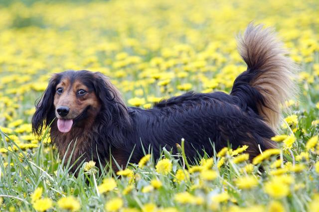 Black Long Haired Dog Breeds
