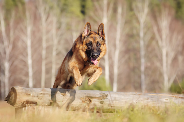 German Shepherd by Shutterstock