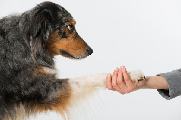 An Australian Shepherd Dog holding out his paw.